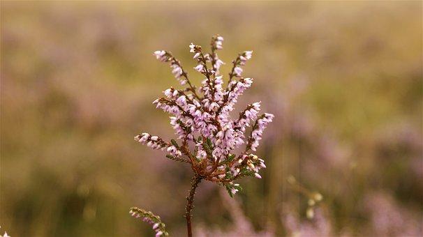 Heide, Heideveld, Flowers, Purple, Vegetable, Area