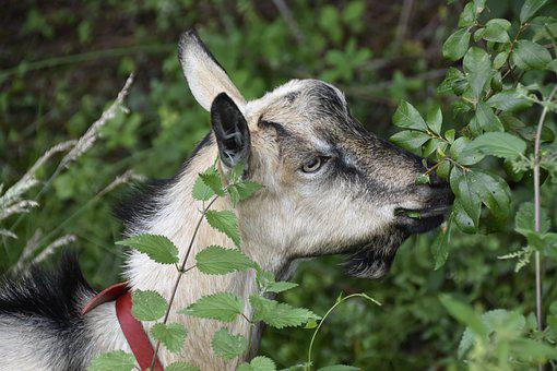 Goat, Herbivore, Mammal, Nature, Prairie, Animal