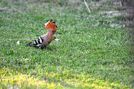 Hoopoe, Bird, Animal, Nature, Fauna, Wildlife