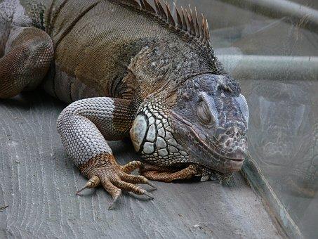 Iguana, Lizard, Reptile, Dragon, Animal, Exotic