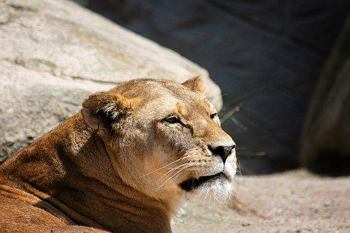 Lioness, Lion, Mammal, Animal, Animal World, Big Cat