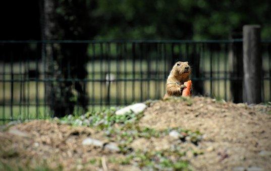 Prairie Dogs, Nager, Rodents, Desert, Prairie, Mammal