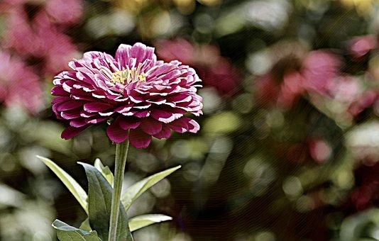 Zinnia, Garden, Color, Flower, Summer, Colorful, Nature