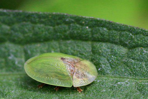 Green Tortoise Beetle, Insect, England, Nature, British