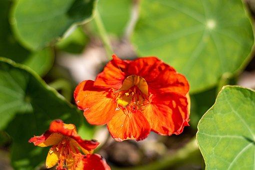Tropaeolum Majus, Orange, Leaves, Flower, Natural