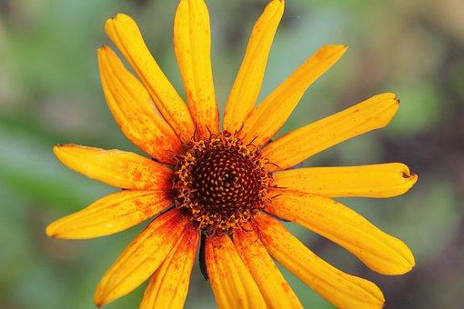 Heliopsis, False Sunflower, Perennial, Yellow