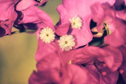 Closeup, Floral, Botany, Background, Pink, Bouganville