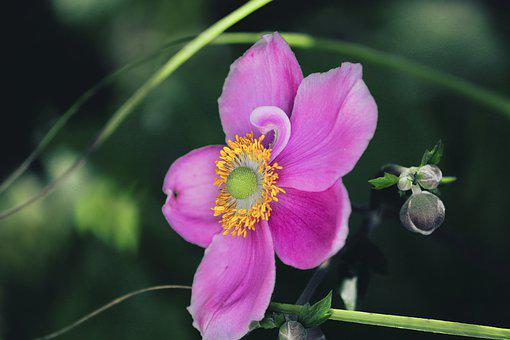 Fall Anemone, Anemone Hupehensis, Blossom, Bloom, Pink