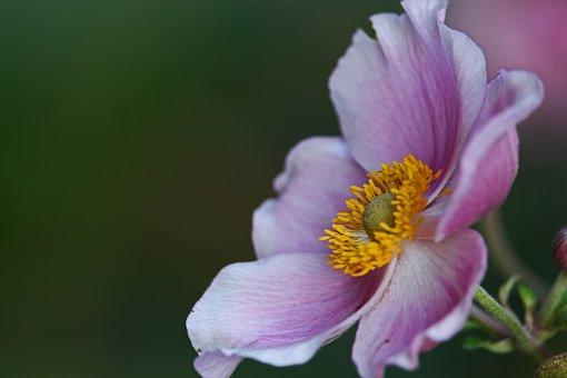 Annemone, Fall Anemone, Pollen, Pink Flower, Flower