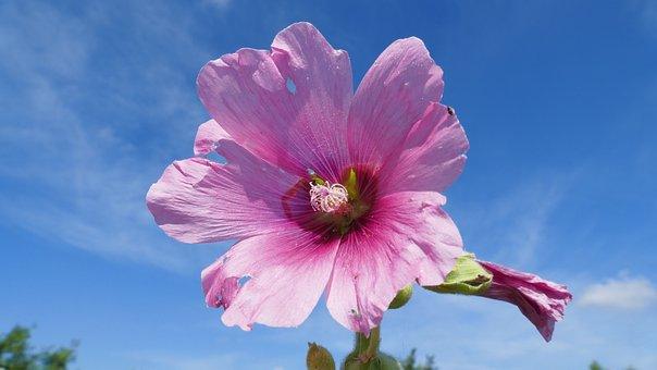 Flower, Sky, Summer, Clouds, Garden, Nature, Blue, Pink