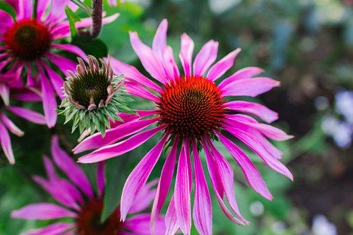 Echinacea Purpurea, Echinacea, Flower, Plant, Garden