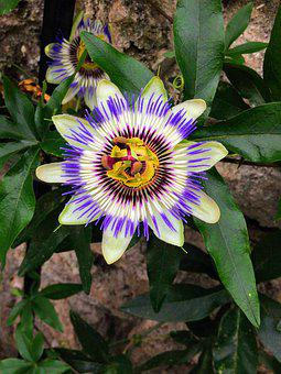 Passion Fruit, Purple, Flower, Bloom, Plant, Nature