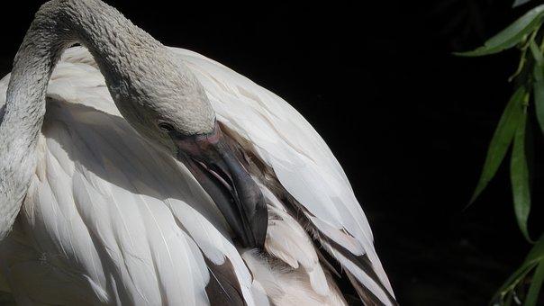 Flamingo, Cub, Young, Beak, Gray, Detail, Portrait