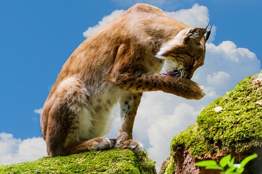 Lynx, Animal, Cat, Mammal, Animal World, Predator