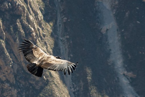 Condor, Peru, Andean Condor, Bird, From Above, Raptor