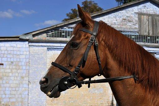Horse, Stallion, Mane, Redhead, Suit, The Nostrils