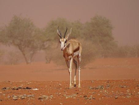 Sandstorm, Kalahari, Roter Sand, Namibia, Gazelle