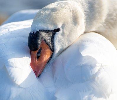Swan, Head, Sleep, Water Bird, Schwimmvogel, Bird