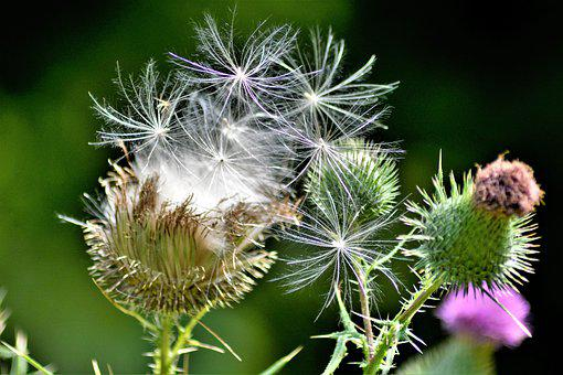 Flying Thistle Seeds, Windblown, Thorny Bush, Seeds