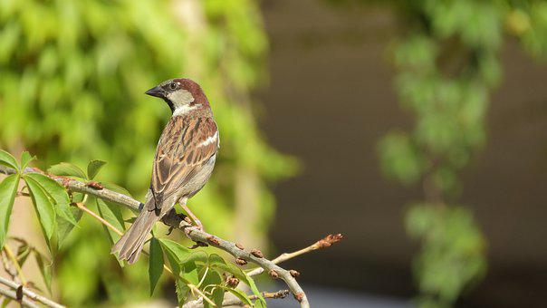 House Sparrow, Sparrow On A Branch