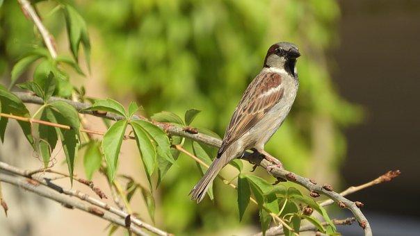House Sparrow, Sparrow On A Branch