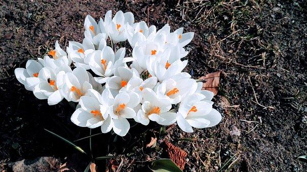 Crocus, Spring Flowers, Spring Flower, Flower, White