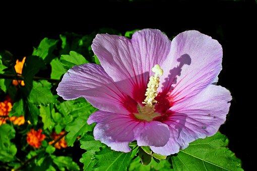 Hibiscus, Flower, Pink, Garden, Summer