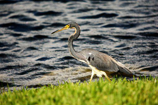 Bird, Blue Heron, Heron, Tall, Walking, Shoreline