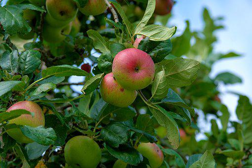 Apple, Tree, Leaves, Apple Tree, Fresh, Nature, Fruit