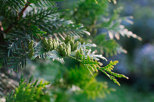Pine, Plant, Nature, Tree, Kidney, Forests, Trees