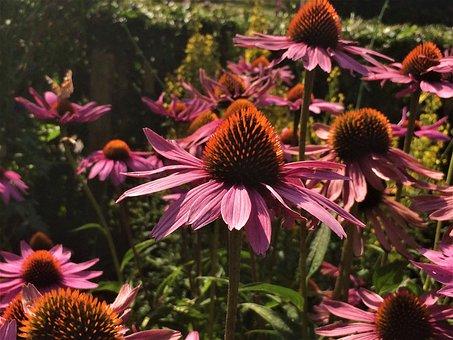 Flowers, Purple Coneflower, Vegetable, Garden, Summer