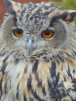 Eagle Owl, Bird, Nature, Wildlife