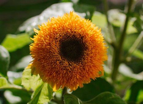 Decorative Sunflower, Summer, Yellow, Ornament, Green