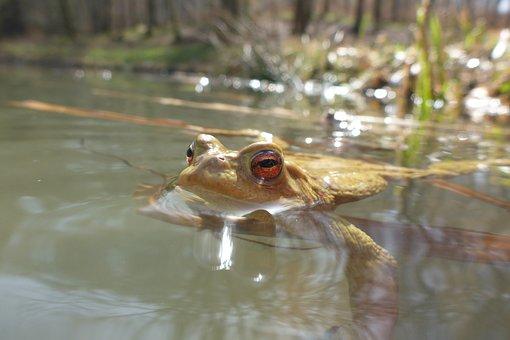 Pond, Toad, Animal, Water, Amphibians