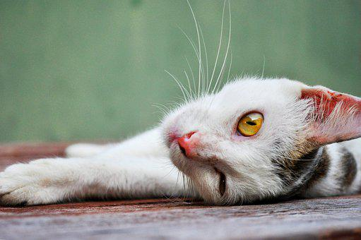 Cat, Cute, Pet, Animal, Kitten, Eyes, White, Furry