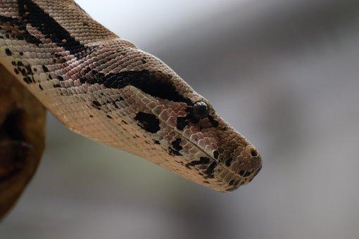 Python, Snake, Animal, Reptile, Toxic, Scale