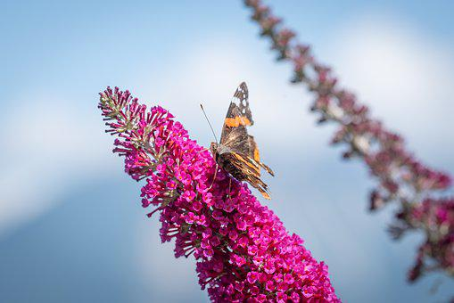 Butterfly, Summer Lilac, Pink, Blossom, Bloom, Animal