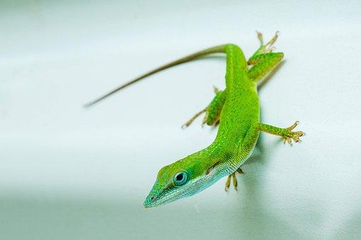 Lizard, Green, Animal, Nature, Scale, Wildlife, Exotic
