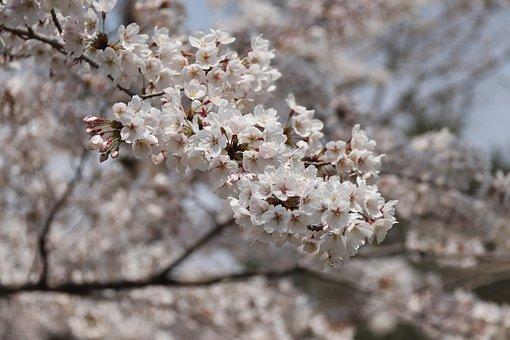 Cherry, Blossom, Pink, Tree, Branch, Flowers, Bloom