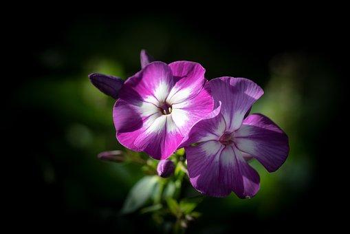Phlox, Flower, Blossom, Bloom, Purple, Nature, Flora