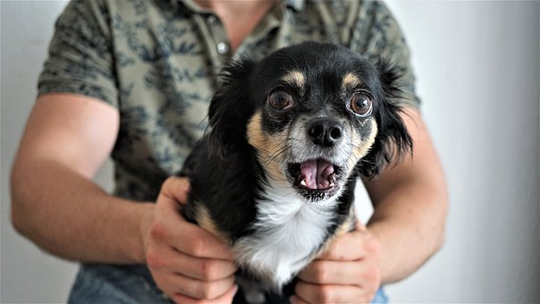 Chihuahua, Scared, Amazed, Funny, Small, Cute, Sweet