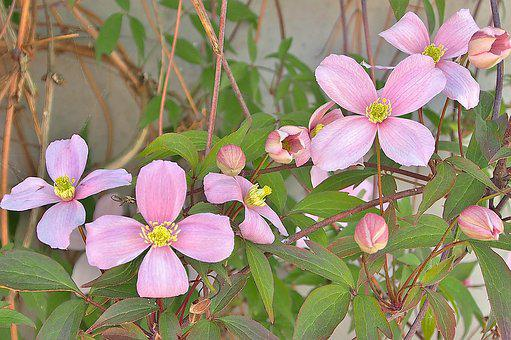 Clematis, White, Pink, Blossom, Bloom, Climber Plant