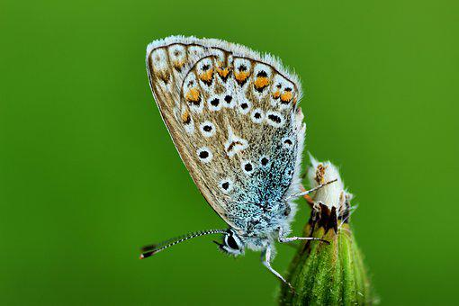 Common Blue, Butterfly, Meadow, Nature, Close Up