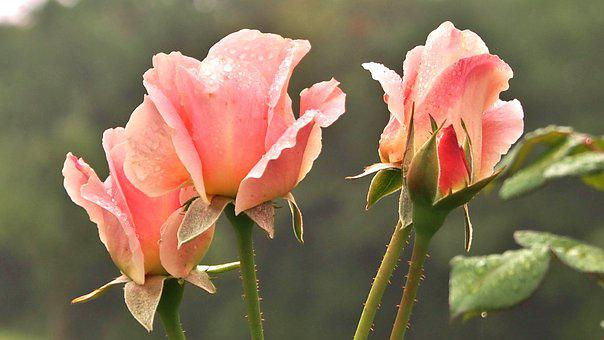 Rose, Marie Height, Apricot, Dieter Hausen, Close Up