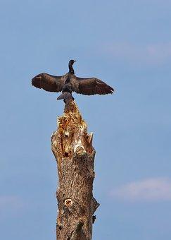 Cormorant, Bird, Large, Animal, Bill, Water, Nature