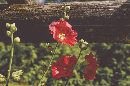 Stock Rose, Cottage Garden, Garden Plant, Summer