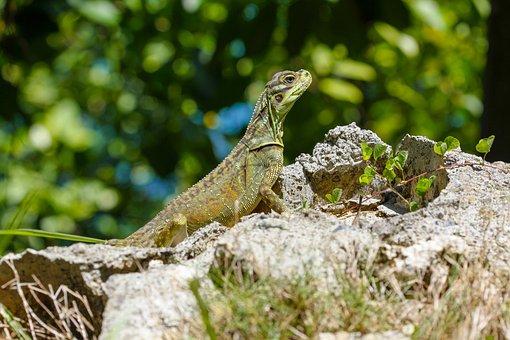 Lizard, Monitor, Reptile, Scaly, Dragon, Scale