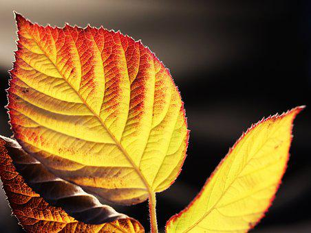 Leaves, Blackberry, Autumn, Fall, Colorful, Garden