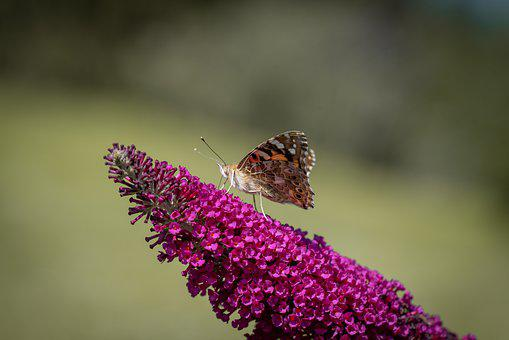 Butterfly, Animal, Flight Insect, Insect, Lilac, Pink