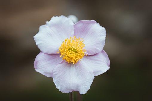 Anemone, Pink, Fall Anemone, Garden, Flower Garden